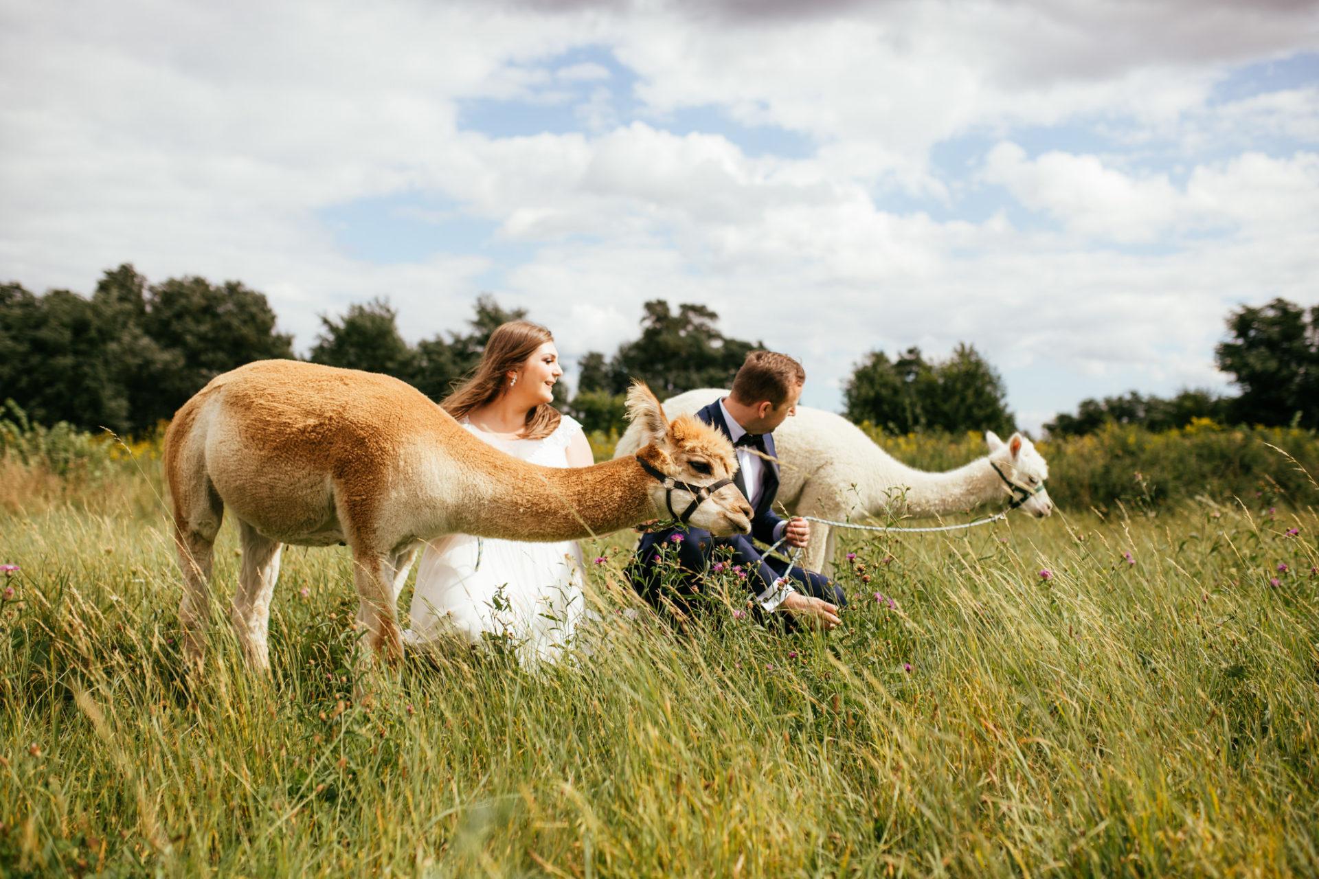 sesja ślubna z alpakami